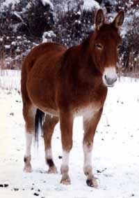Mule in the snow